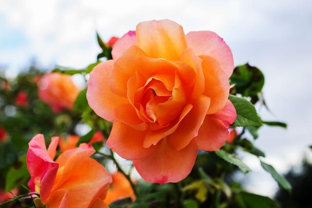 Trandafirii-si-economisirea